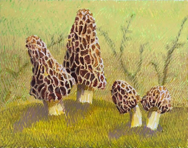 Morel by Jane Carr