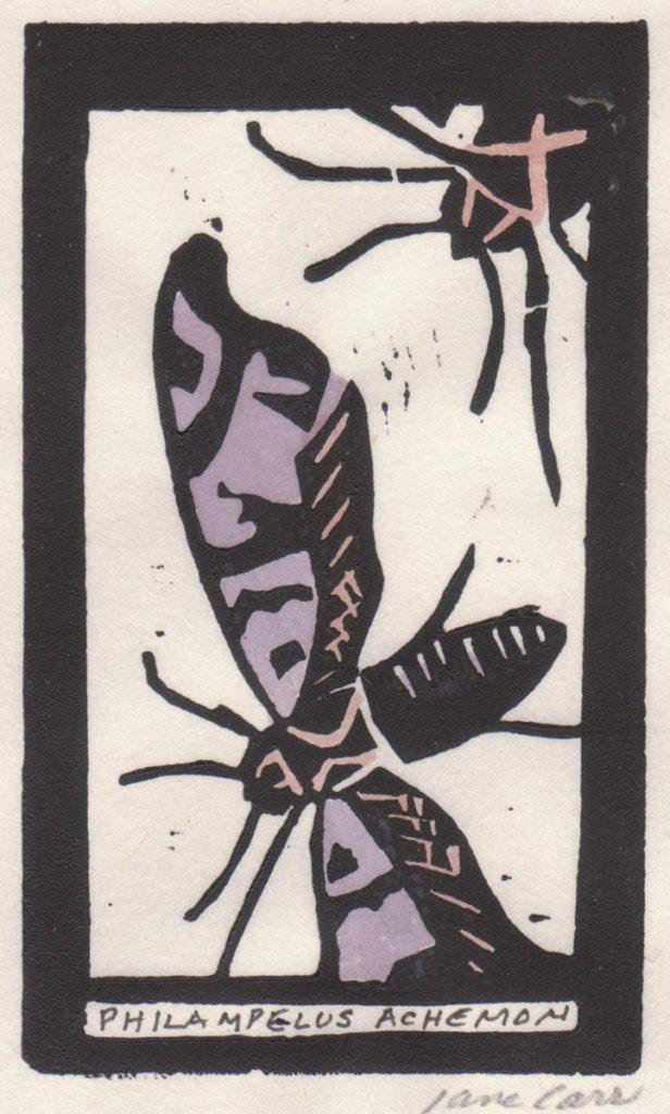 Philampelus Achemon by Jane Carr